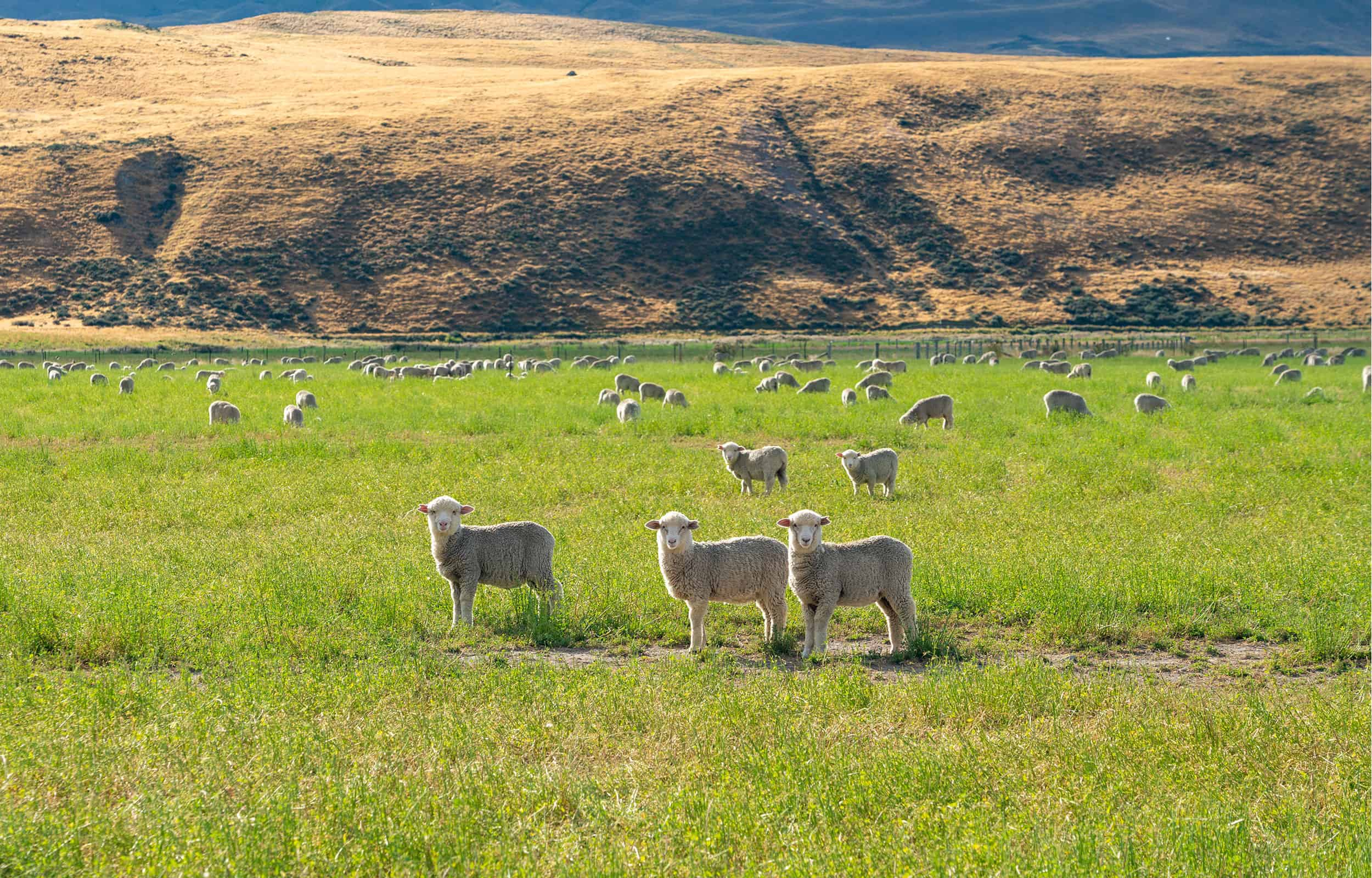 landscape picture of sheep and mountain