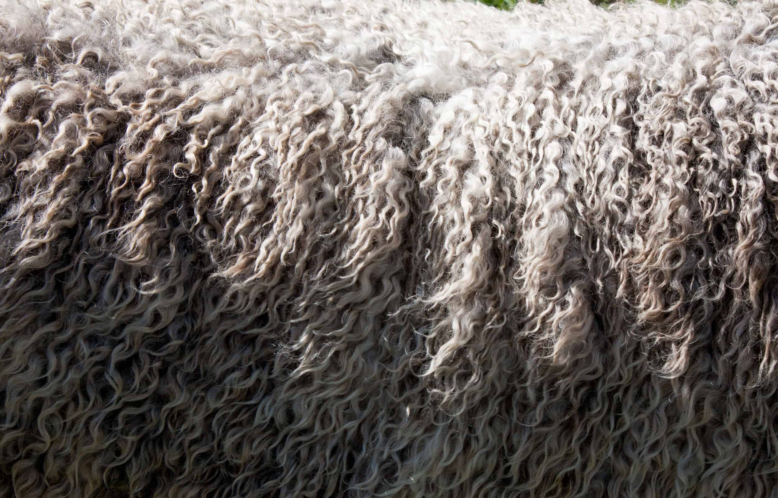 close up of the sheep fur