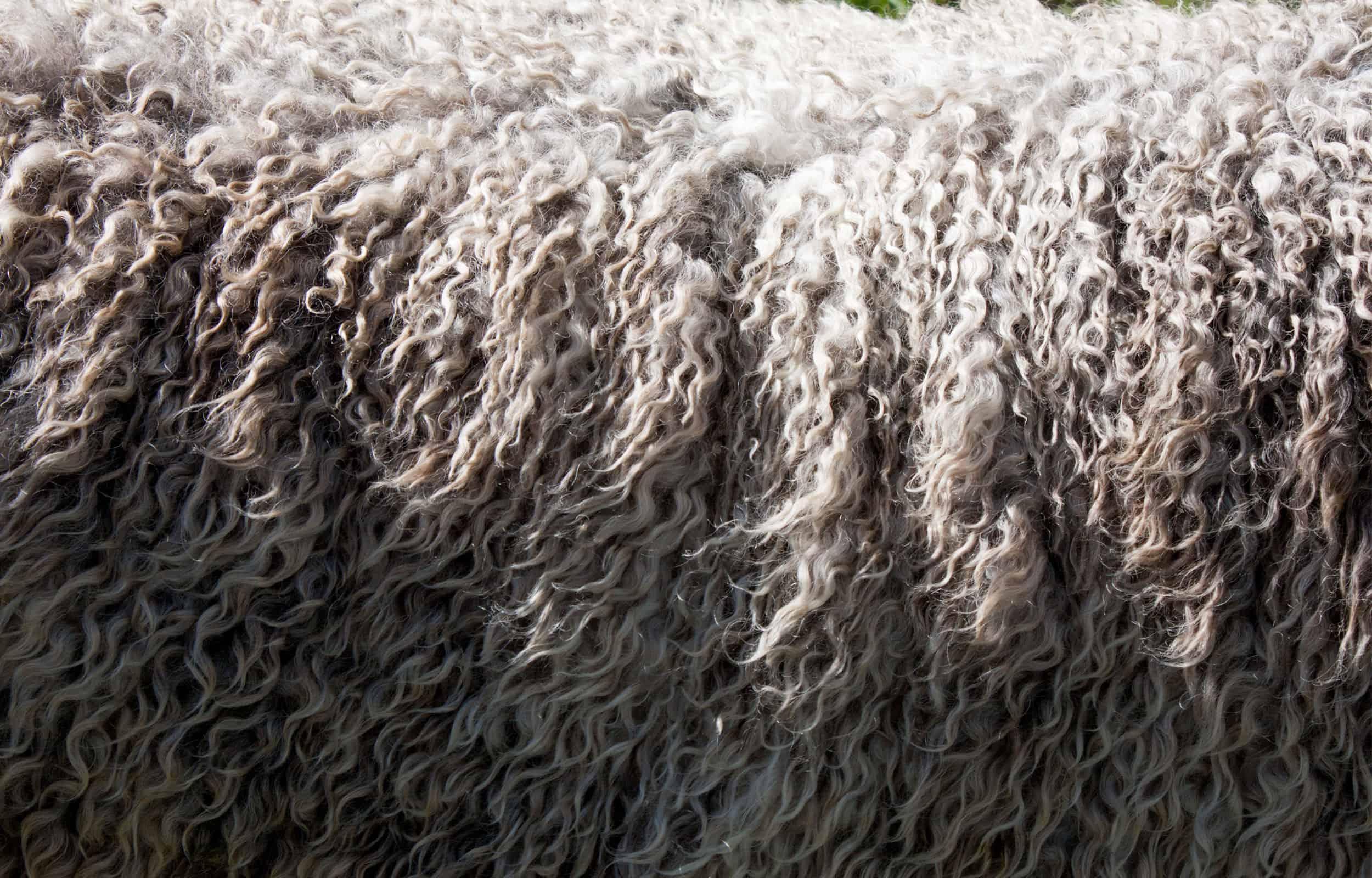 close up of the sheep fur