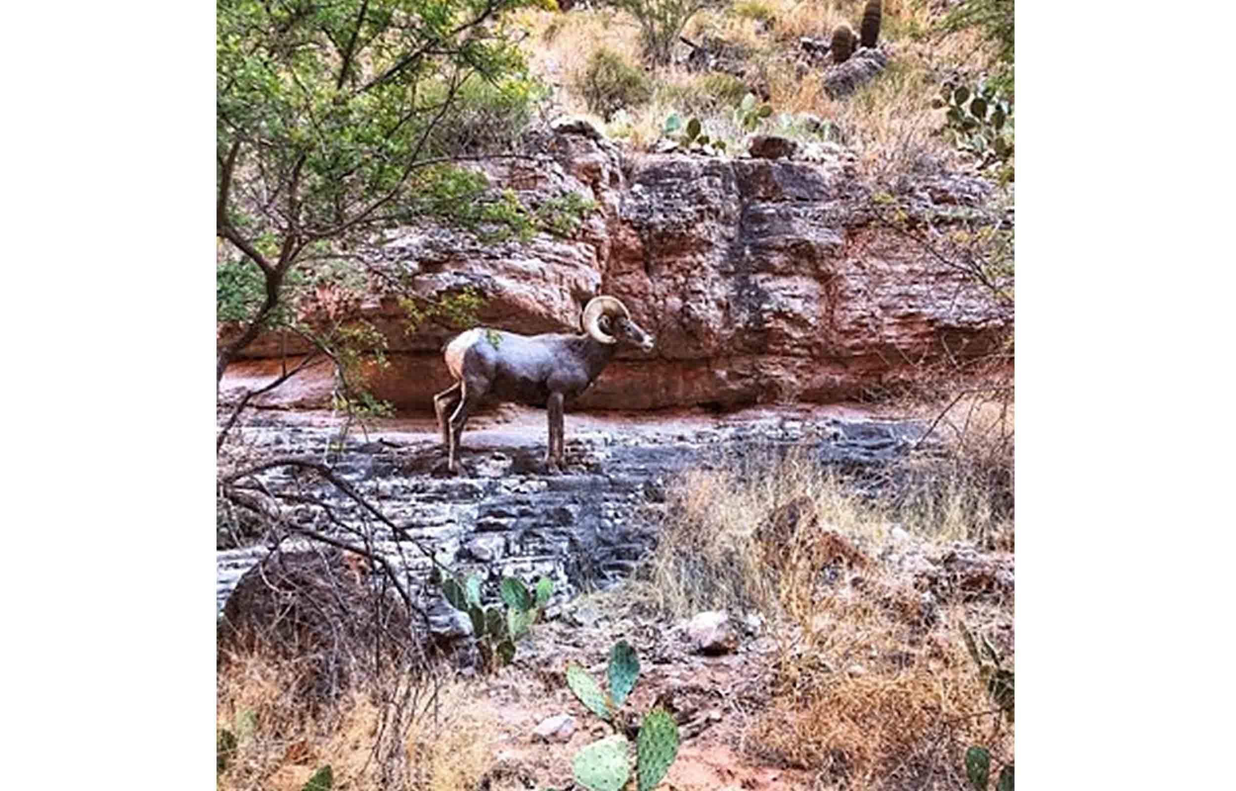 big horn sheep in the havasupai trail