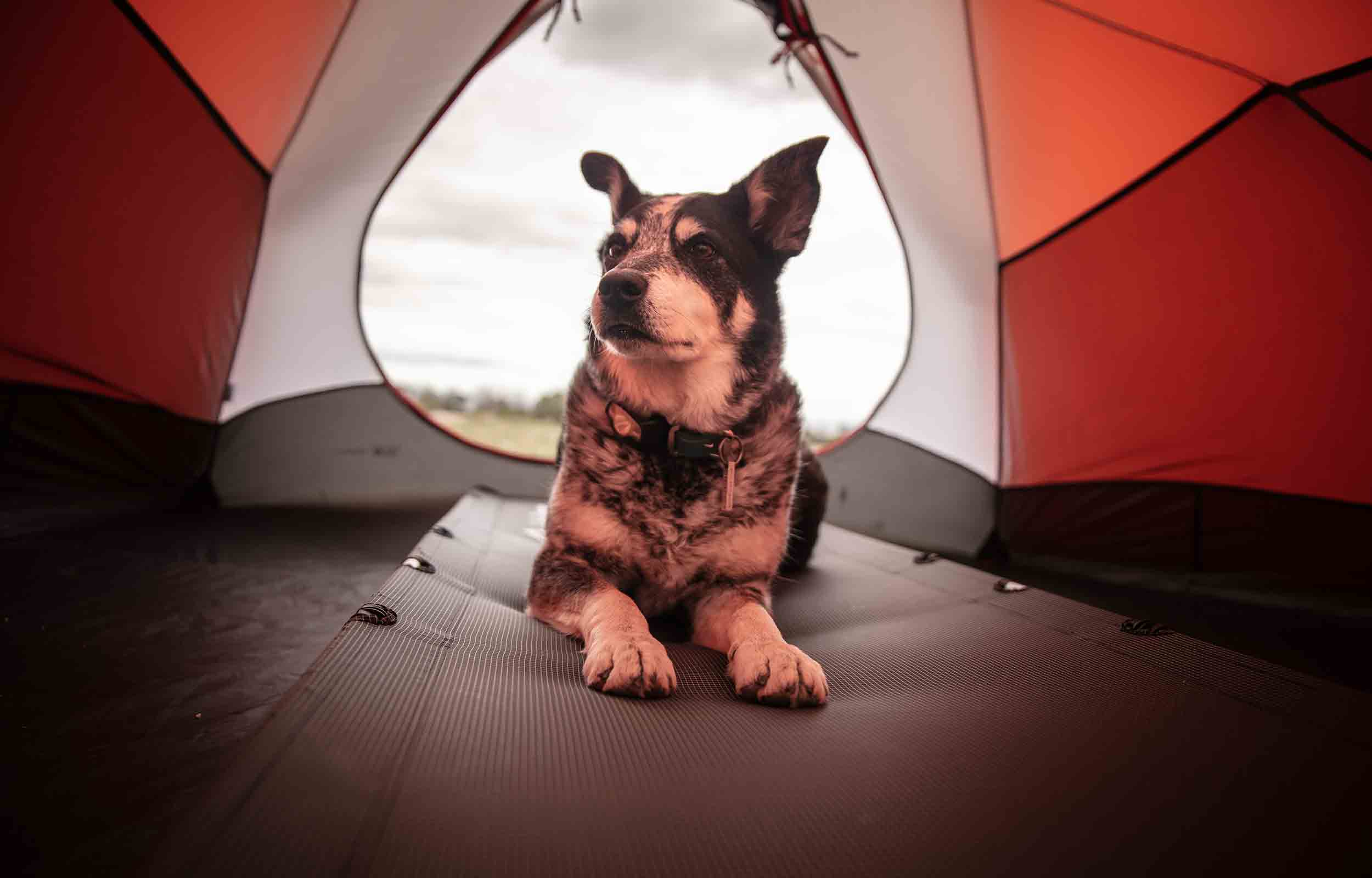 dog laying on a pad inside a tent