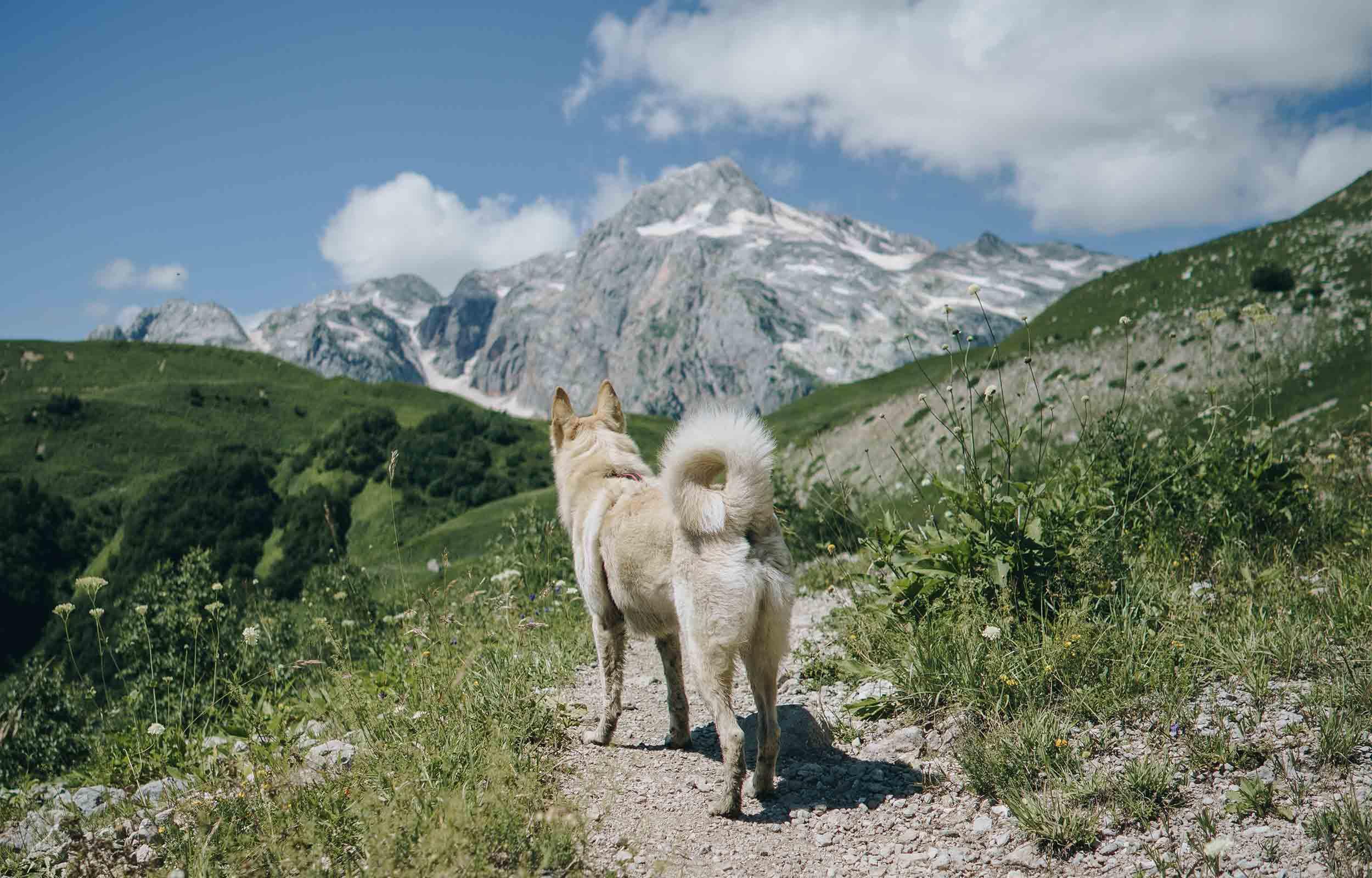 white dog hiking trail towards mountain