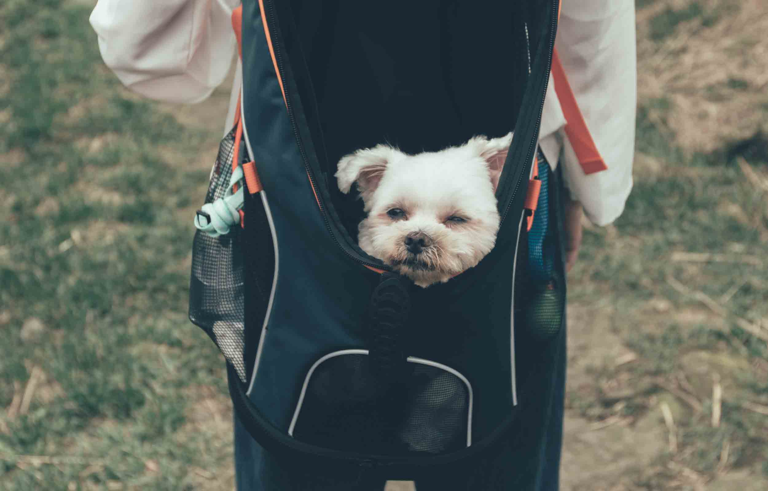 small dog being carried in a dog backpack