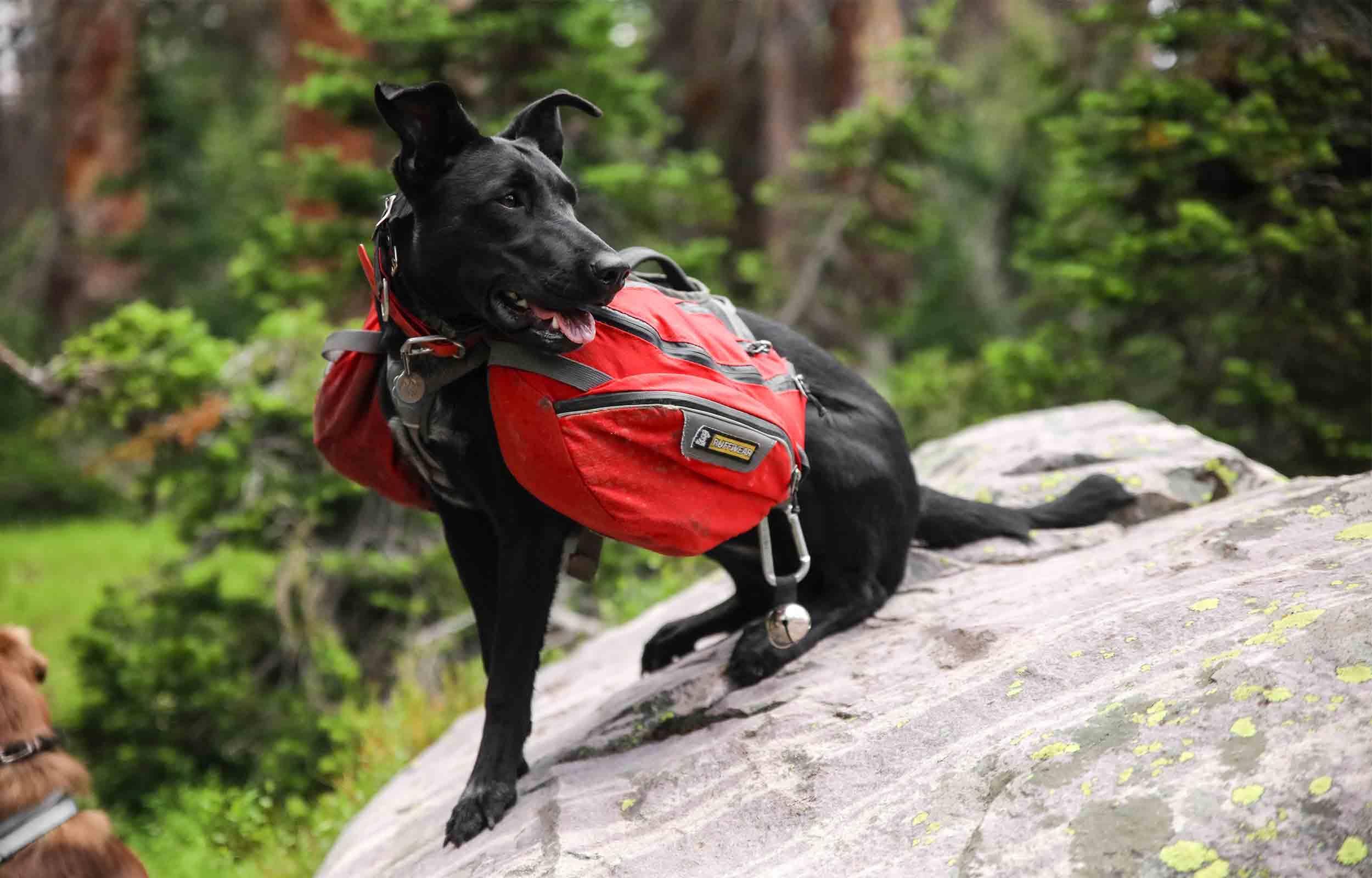 dog wearing a dogpack