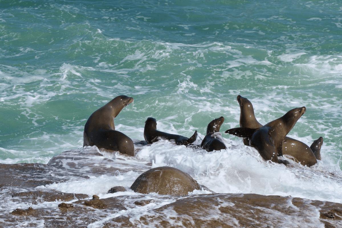 sea lions la jolla san diego