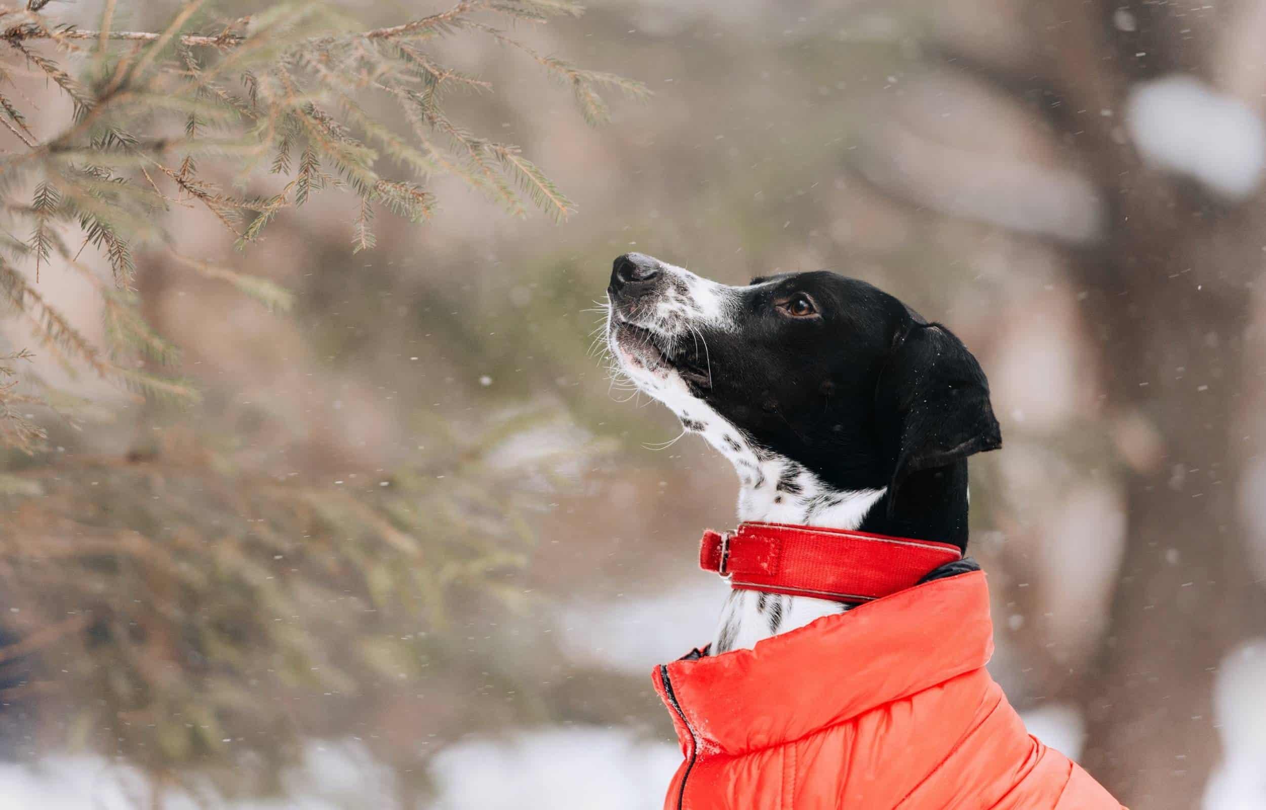 dog winter hiking jacket